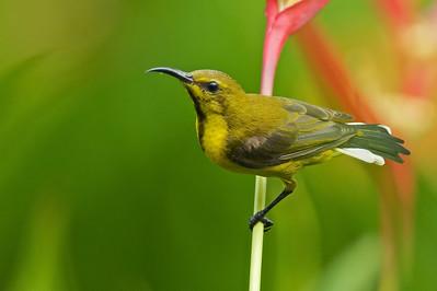Olive-backed sunbird (male, eclipse) @ Singapore Botanical Gardens, Singapore