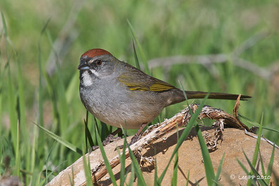 Green-tailed Towhee @ Utah, USA