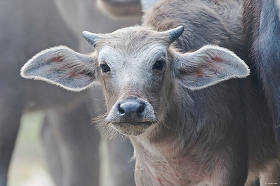 A water buffalo kid. Sure looked cute.