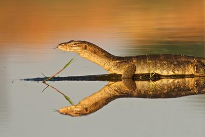 Malayan Monitor Lizard
