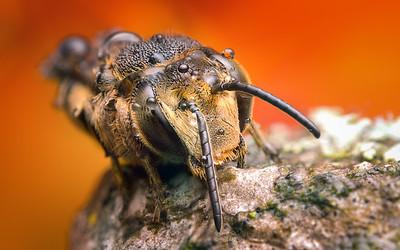 Méh portré
