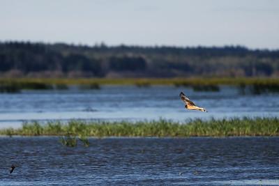 Harrier on he lake