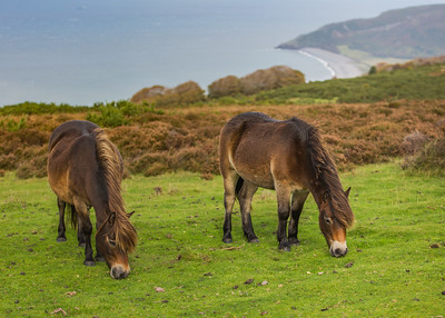 Exmoor Pony - Porlock Common - Exmoor - Somerset (October 2020)