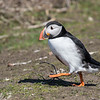 Puffin - Farne Islands - Northumberland (April 2018)