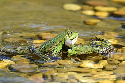 Europäische Reptilien & Amphibien, Reptiles and Amphibians of Europe