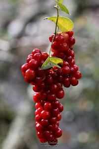 Balazuc, fruit de salsepareille