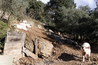 Balazuc, élevage de cochons au Vieil Audon