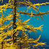 Lyell's Larch at  Zigadinas Lake