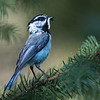 Mouintain Chickadee