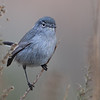 California Gnatcatcher (Non-breeding)