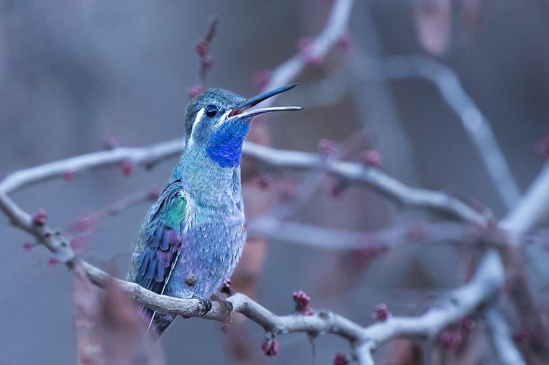 Blue-thoated Hummingbird