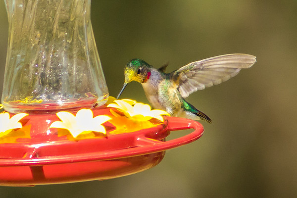 Broad-billed Hummingbird (w/ pollen on head)