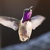 Lucifer's Hummingbird