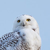 Snowy Owl - CO; Standley Lake - 2018