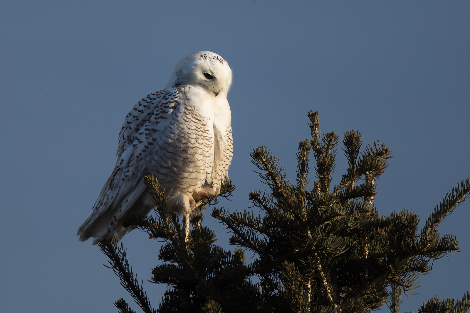 Snowy Owl -  Standley Lake 2018