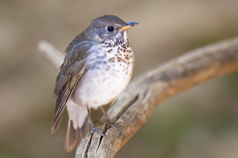 Gray-cheecked Thrush