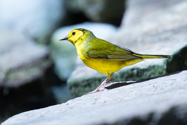 Hooded Warbler (Female)