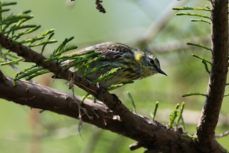 Cape May Warbler (Female)