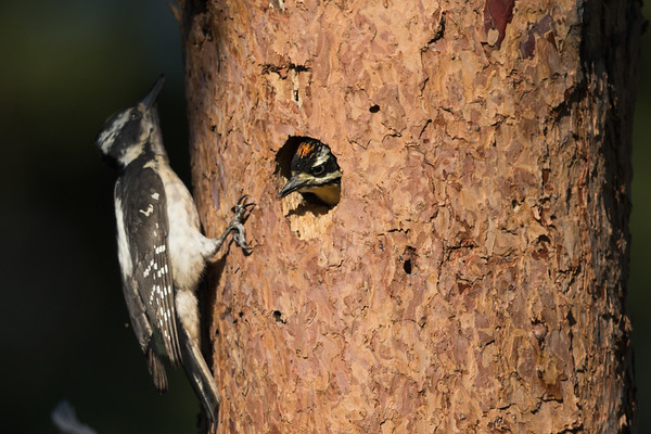 Hairy Woodpecker (Young)