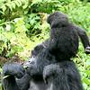 Baby Gorilla Climbing on Mom's Head