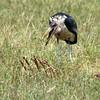Stork - Marabou