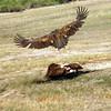 Vulture Flying Over Prey