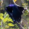 Starling - Superb - Flying