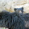 Sloth Bear Cub Riding on His Mother's Back
