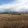 Taos Cows