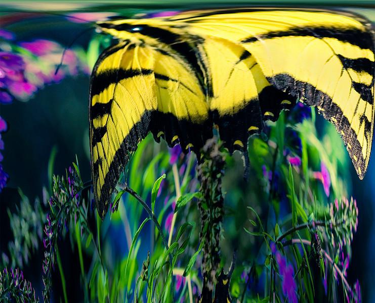 Dalish Butterfly ~