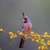 Pyrrhuloxia, Cardinalis sinuatus