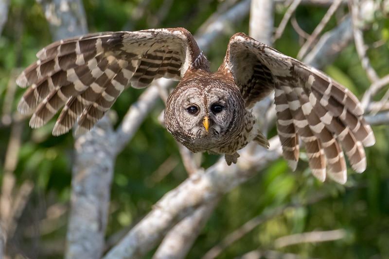 Barred owl, Strix varia