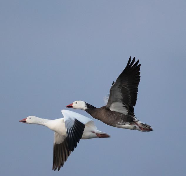 Snow goose Blue goose pair, Chen caerulescens