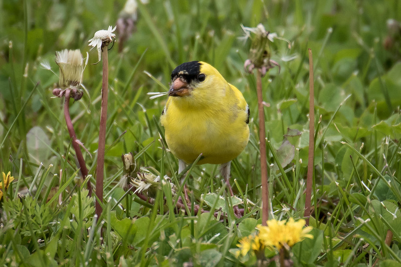 American goldfinch, Carduelis tristis