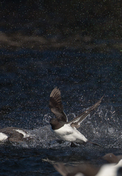 Common murre, Uria aalge