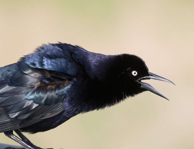 Great-tailed grackle, Quiscalus mexicanus