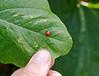 Ladybug on squash leaf