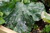Powdery Mildew on squash leaf