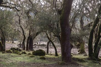 Jan 8, 2016, Oak woodland, Stuart Creek