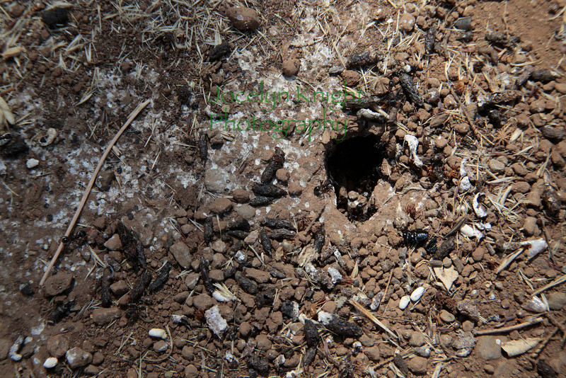 #7052 - Ants around the nest opening, lizard scat present - lizards like to eat ants!