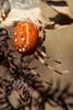 PumpkinSpdr3965