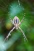 Garden spiderACR-2014DT