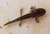 Newt Larvae-ACR-2014DT