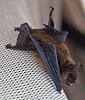 Bat2772