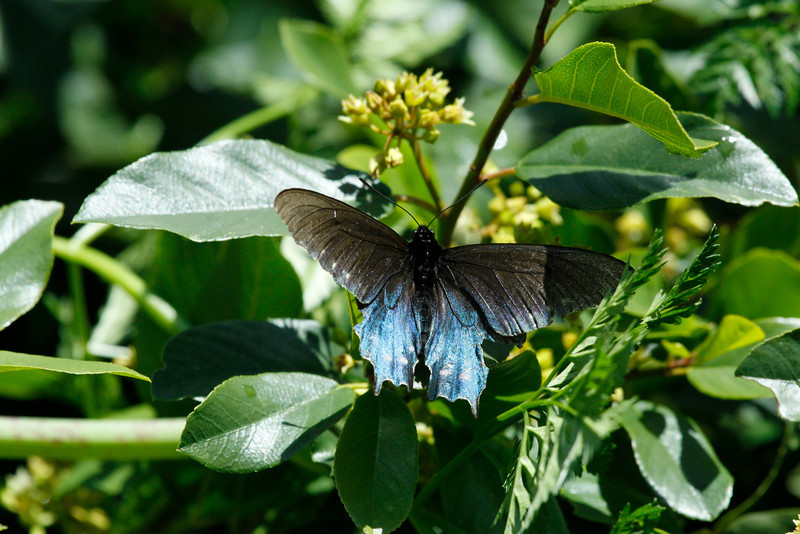 IMG 6955 - Pipevine Swallowtail