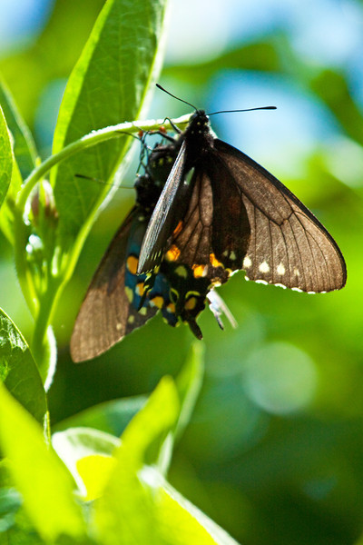 Pipe-vine Swallowtail laying eggs with male nearby - Audubon Canyon Ranch, Stinson Beach, CA