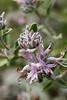 IMG2276- Beebalm growing in the native plant garden, Volunteer Garden, Audubon Canyon Ranch, Stinson Beach, California in May.