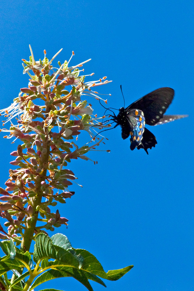Pipevine Swallowtail on Buckeye flowers at Audubon Canyon Ranch, Stinson Beach, California