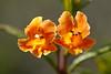 IMG2291 - Sticky Monkey Flower, Volunteer Canyon May 2011