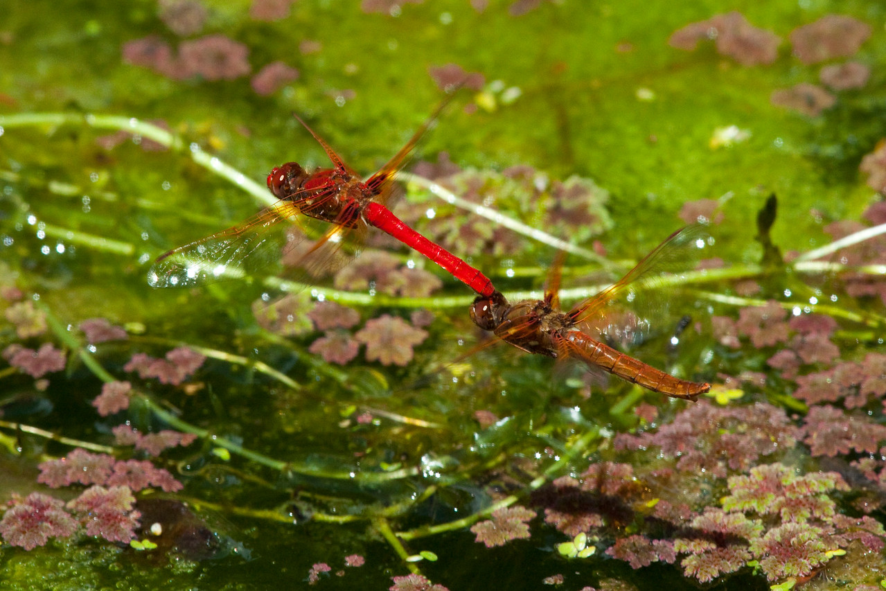 Red Dragonflies at Audubon Canyon Ranch in Stinson Beach, California
